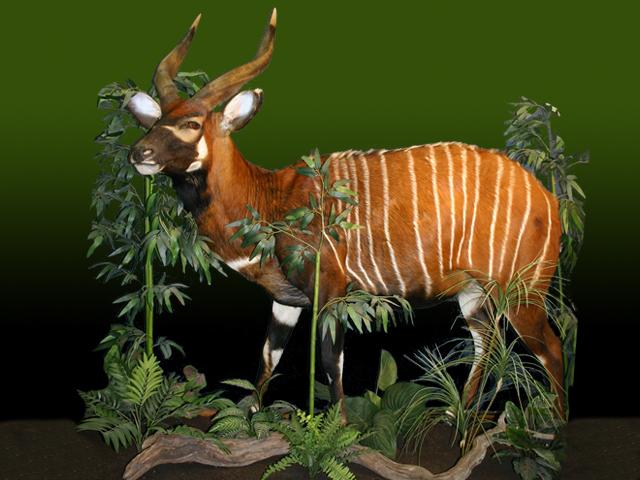 Bongo Deer